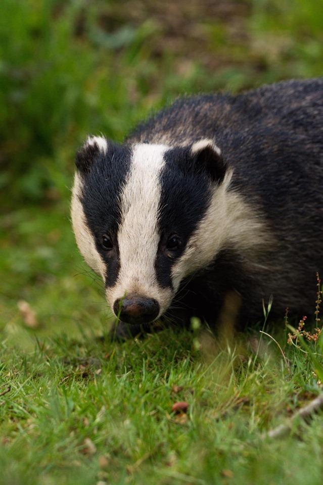 Amy Rogers badger watching at Fingringhoe Wick Nature Reserve
