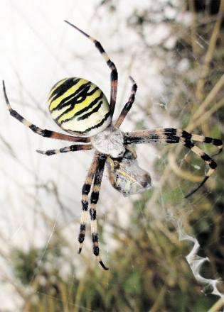 RARE: A wasp spider has been discovered at Cefn lla Photo: Woodland Trust with permission o