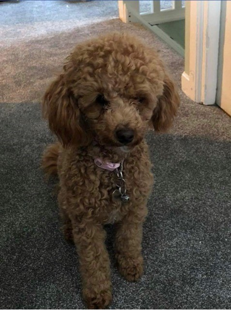 LOST: Lisa Tainton's toy poodle